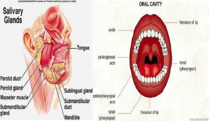 Oral Cavity And Parotid Gland